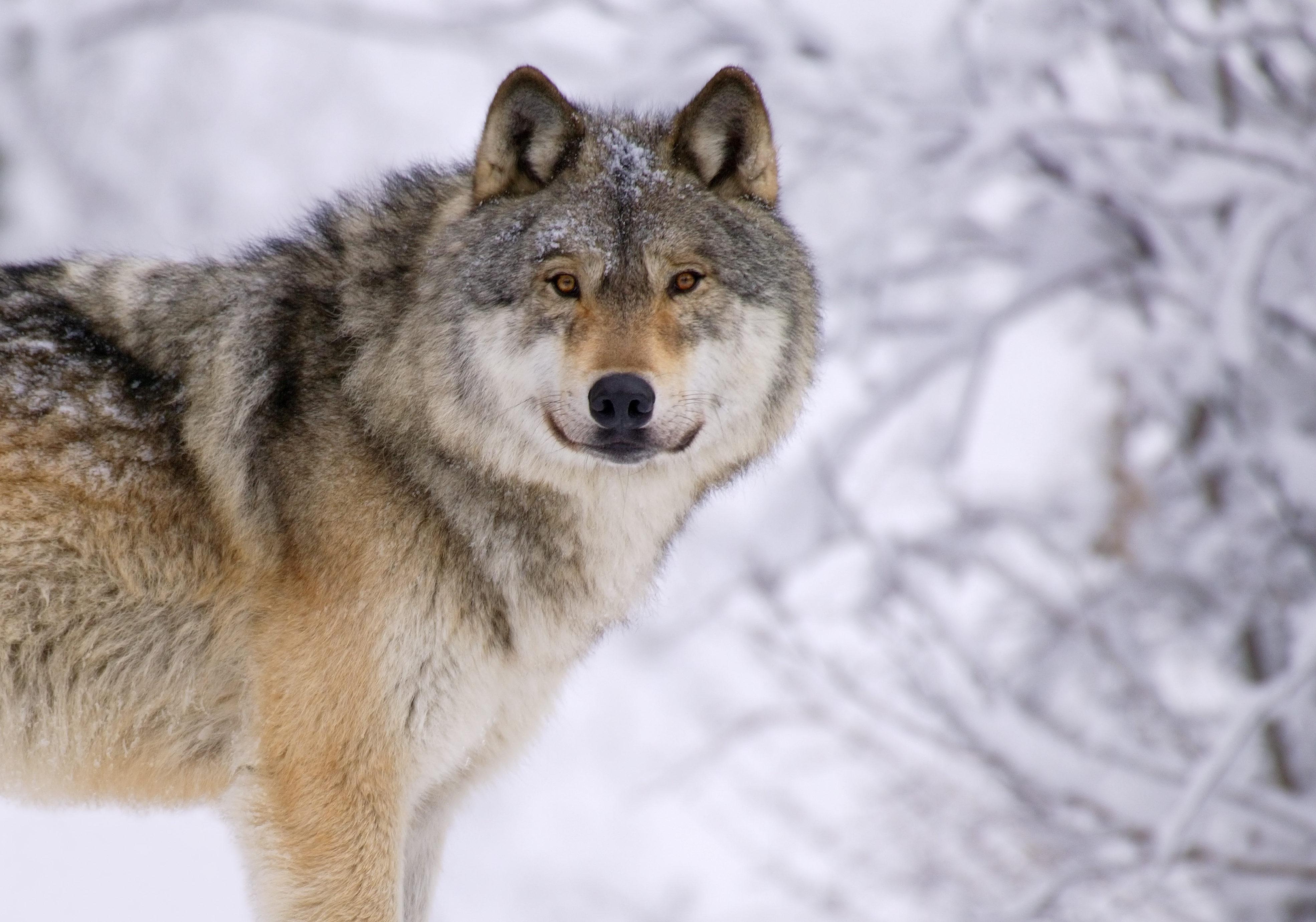 Смотреть картинки волки с надписями, сделать открытку