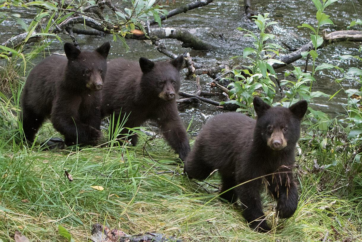 Alaskans say 'no' to cruel hunting methods for killing hibernating bears, wolf pups in dens